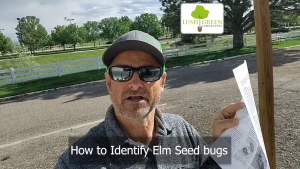 How to Identify Elm Seed bugs